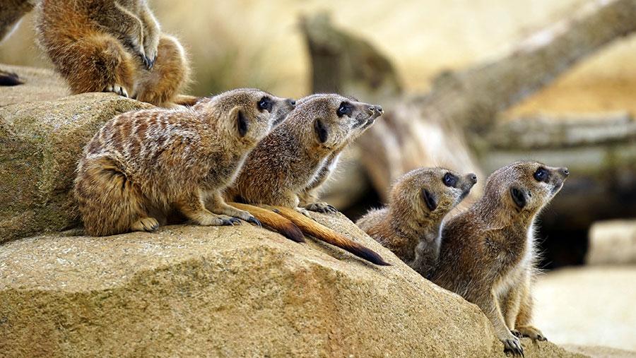 reCAPTCHA Meerkats